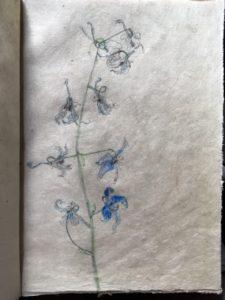 Delphinium/Ridderspoor, 2017, potlood en pastelpotlood, 23x16